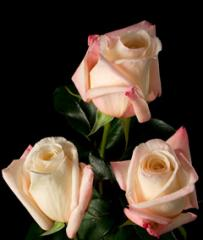 """Rosas Rosadas """"Anna"""""""