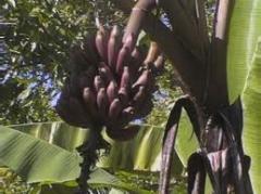 Banano Morado