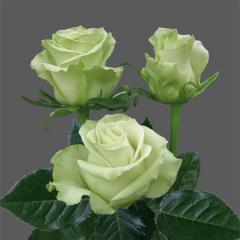 "Rosas Blancas ""Mondial"""