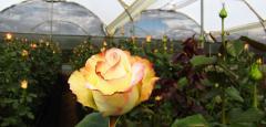 """Rosas Bicolores """"Aubade"""""""