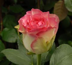 "Rosas ""Malibu"""