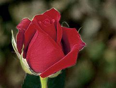 "Rosas Rojas ""Classy"""