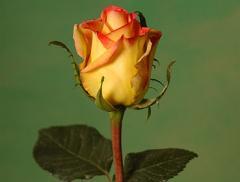 "Rosas Bicolores ""Ambiance"""