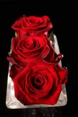 "Rosas Rojas ""Forever Young"""