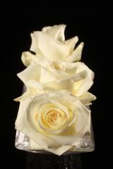 """Rosas Blancas """"Anastasia"""""""