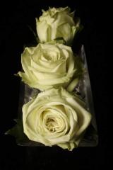"Rosas Verdes ""Green Tea"""