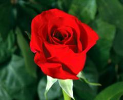 "Rosas Rojas ""Freedom"""