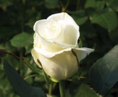 "Rosas Blancas ""Escimo"""