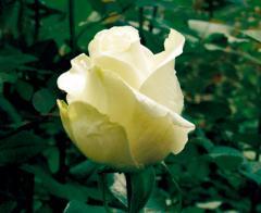 "Rosas Blancas ""Tibet!"""