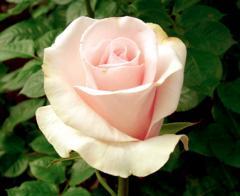 "Rosas Rosadas ""Titanic"""