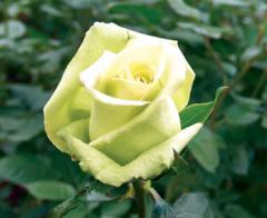 """Rosas Verdes """"Jade"""""""