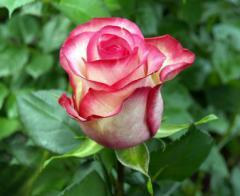 "Rosas Bicolores ""Carousel"""
