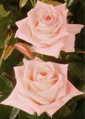 """Rosas Rosadas """"Engagement"""""""