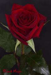 "Rosas Rojas ""Black Magic"""