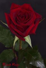 "Rosas Rojas ""Black Magic"""