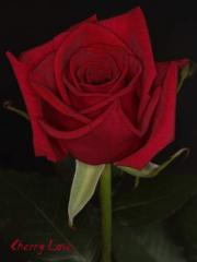 "Rosas Rojas ""Cherry Love"""