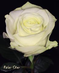 "Rosas Blancas ""Polar Star"""
