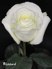 "Rosas Blancas ""Blizzard"""