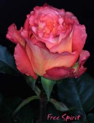 """Rosas Bicolores """"Free Spirit"""""""