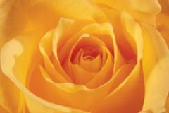 "Rosas de Jardín ""Creme Bruleé"""