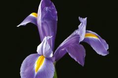 Iris (flowers)