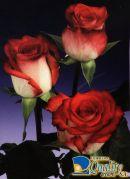 "Rosas Bicolor ""Blush"""