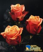 "Rosas Bicolor ""Cherry Brandy"""