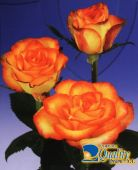 "Rosas Bicolor ""High Magic"""
