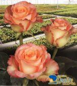 """Rosas Bicolor """"Duett"""""""