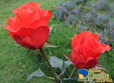"Rosas Naranjas ""Star 2000"""