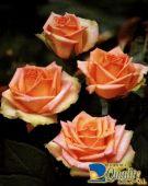 Rosas en Color Durazno