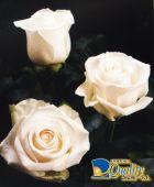 """Rosas en Color Blanco """"Vendela"""""""