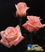 Rosas en Color Rosado