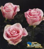 """Rosas en Color Rosado """"Rosita"""