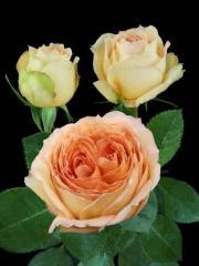 "Rosas de color Durazno "" Caramel Antike ®"