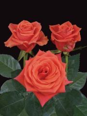 "Rosas de color Naranja "" Cayenne ®"