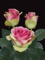 Rosas de color bicolor fucsia verde