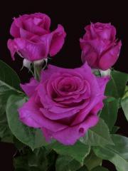 """Rosas de color lila azul """"Mamy Blue ®"""