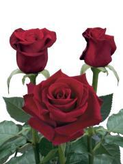 """Rosas de color rojo """"Corazon ®"""""""