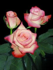 "Rosas de color rosado ""Alex ® """