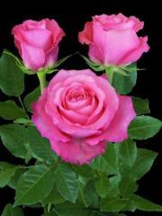 """Rosas de color rosado """"Classic Duett ®"""