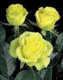 Rosas de color Verde Limón