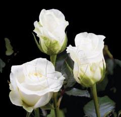 "White Roses ""Akito"""