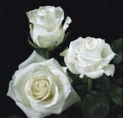 "White Roses ""Polar Star"""