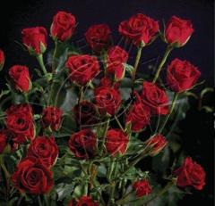 "Spray Roses ""Red Mikado """