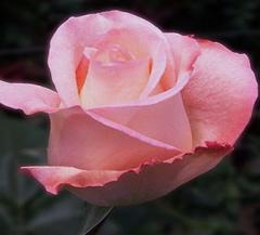Rosas de Color Rosado Claro