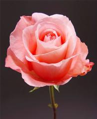 Pink Roses Peckoubo