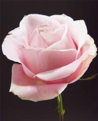 Pink Roses Secret Garden