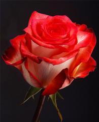 Bicolor Roses Blush