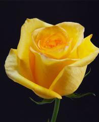 Yellow Roses Deja Vu